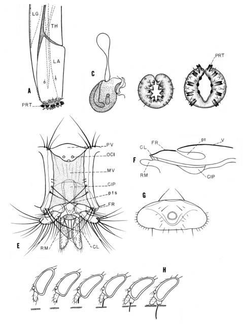 Pseudolynchia Canariensis