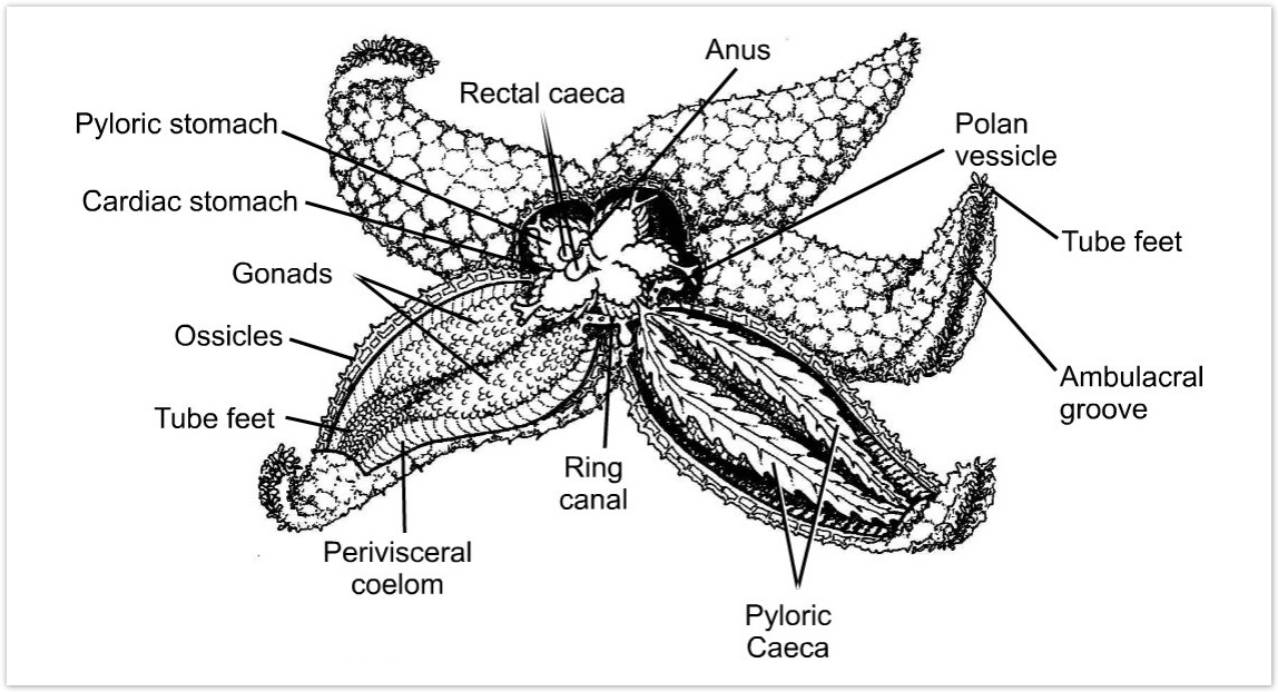 detailed diagram of the internal anatomy of a sea star, including the  pyloric and cardiac stomachs, gonads, tube feet and water vascular system  which are