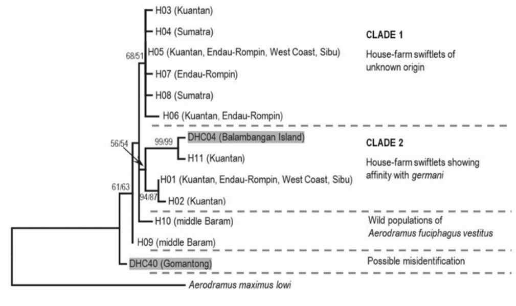 Aerodramus fuciphagus - Edible-nest Swiftlet - Taxo4254