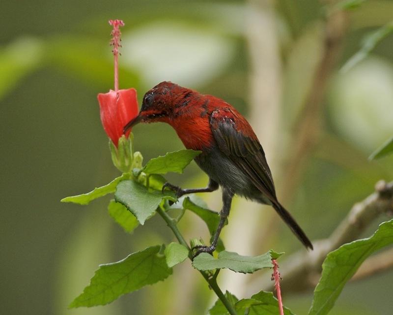 Aethopyga Siparaja Crimson Sunbird Taxo4254 Wikis