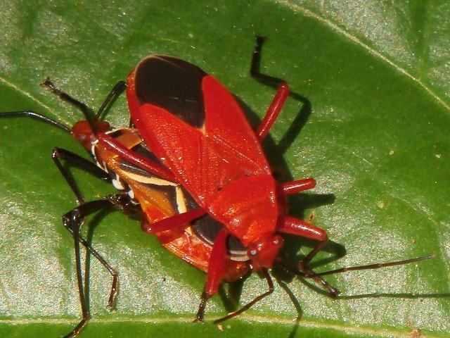 Dysdercus cingulatus - Cotton stainer bug - Taxo4254 - Wiki nus