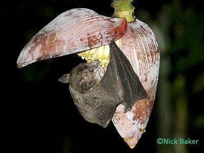 Eonycteris spelaea - Cave Nectar Bat - Taxo4254 - Wiki nus