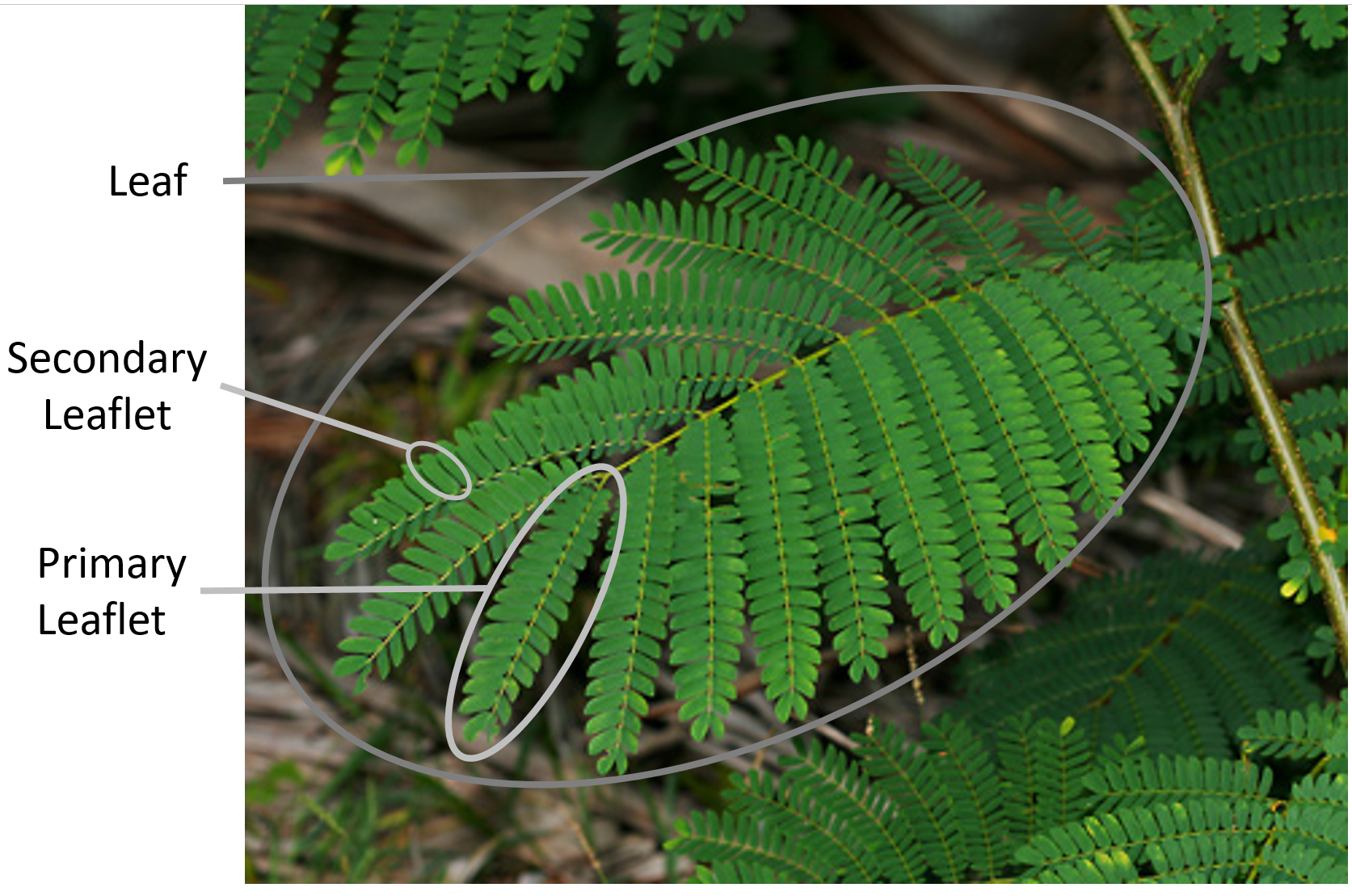 Falcataria moluccana - Albizia - Taxo4254 - Wiki nus