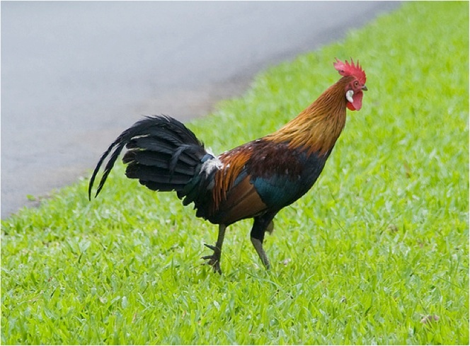 Gallus gallus - Red Jungle Fowl - Taxo4254 - Wiki nus