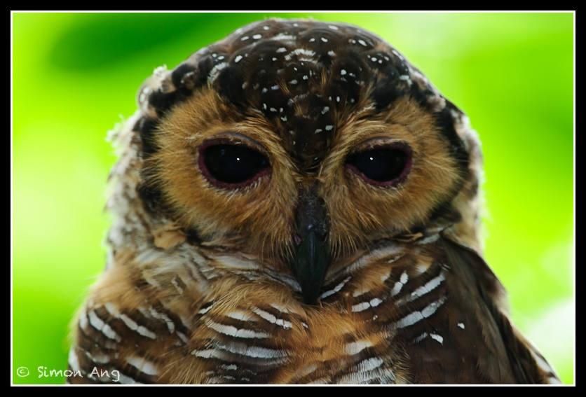 Strix Seloputo Spotted Wood Owl Taxo4254 Wiki Nus